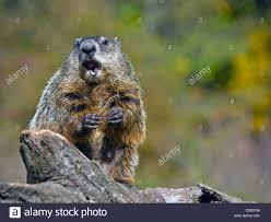 close up of a woodchuck eating a peanut the groundhog marmota
