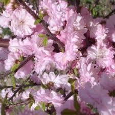 ornamental plum flowering fruit trees