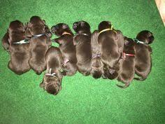 affenpinscher puppies for sale in ohio affenpinscher puppy for sale in san francisco ca adn 21136 on