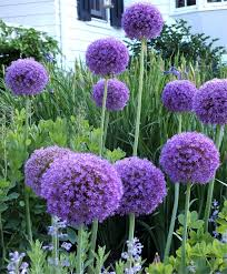 allium flowers allium globemaster allium flower bulb index