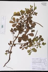 senna obtusifolia species page isb atlas of florida plants
