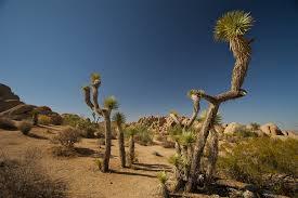 grapevine trees grapevine mesa joshua trees national landmark state