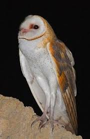 sd gfp wildlife and habitat learn more about critters barn owl