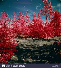 a false color infrared photograph of trees and this photograph