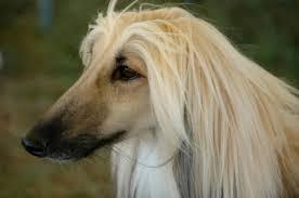 afghan hound grooming styles afghan hound appearance u0026 grooming