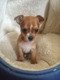 short haired chorkie lovely dog breeds chorkie dog breed pictures information