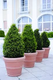 ornamental potted trees stock photo picture and royalty free