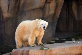 Lights At Lincoln Park Zoo by Polar Bear Exhibit Opens At Lincoln Park Zoo Chicago Tribune