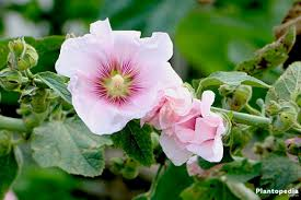hollyhock flowers hollyhock flower alcea rosea plant care and grow from seeds