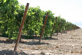 grape project california consortium for agricultural export