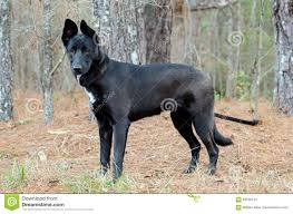 belgian shepherd labrador retriever mix belgian malinois german shepherd dog mixed breed stock photo