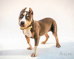 american pitbull terrier 7 months how to adopt puppies bonnie and clyde at redlands animal shelter