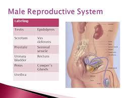 Urinary Bladder Anatomy And Physiology Human Anatomy U0026 Physiology Labeling Testisepididymis Scrotumvas