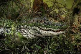 alligator lake swamp predator wallpaper 3600x2400 719426