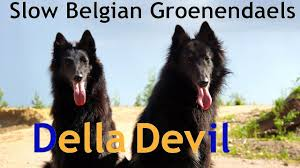 belgian sheepdog breeds della u0026 devil slow belgian groenendaels youtube