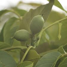 Patio Fruit Trees Uk by The Walnut Tree Company Walnut Fruit Trees Walnut Timber Trees