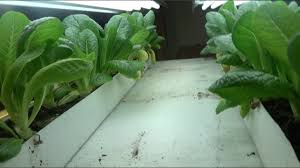 lettuce growing in a rain gutter planter step by step how to do