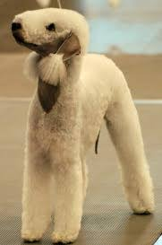 bedlington terrier guard dog bedlington terrier everything you want to know about this weird