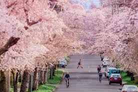cherry blossom tree your guide to the best spots to see the blossoms victoria buzz