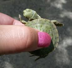 map turtle map turtle graptemys versa all turtles