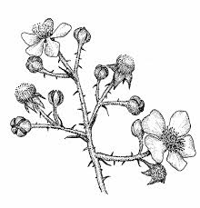 plants native to new england rubus bifrons twice leaved blackberry go botany