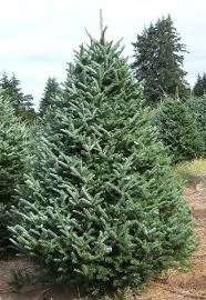 fraser fir tree fraser fir grove trees