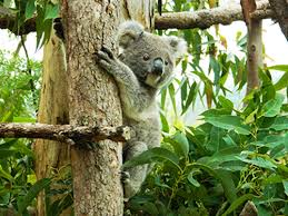 managing health habitat koala population south