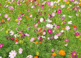 flower images a field of cosmos flowers stock photo colourbox