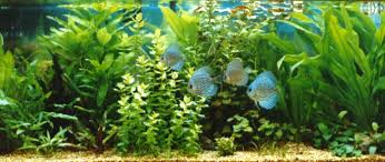 Live Plants In Community Aquariums by The Planted Discus Aquarium