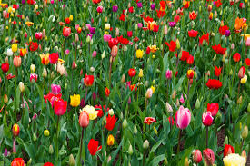 colorful flower gardens vivid colorful flowers free stock photo public domain pictures