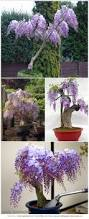 hardest plant to grow how to grow wisteria in a pot wisteria purple and pots