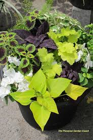 ngb year of the coleus together coleus sweet potato vine and