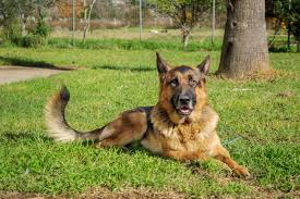 belgian shepherd los angeles free images nature grass lawn animal canine looking pet