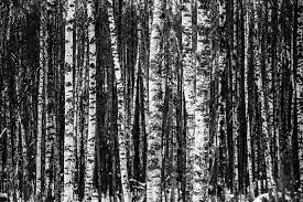 free photo winter forest wood trees pattern birch max pixel