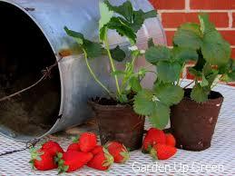 Diy Strawberry Planter by Diy Hanging Strawberry Planter U2013 Garden Up Green