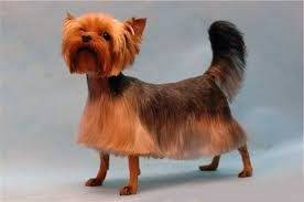 yorkie hairstyles yorkie haircut exles explore yorkie haircuts pictures and select the best style for