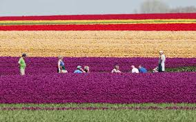 tulip fields in europe are where you should celebrate spring