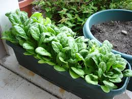 Vegetables For Container Gardening by 10 Pictures Of Vegetable Gardening In Containers