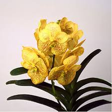 buy an orchid london orchid shop buy yellow orchids online orchid store uk