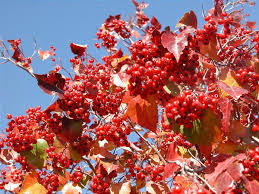 plant fall fruiting trees shrubs color deseret