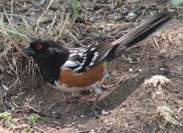 New Mexico birds images Birds of new mexico spotted towhee david leahy 39 s birds of new jpg