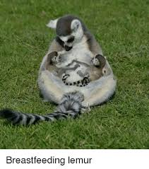 Lemur Meme - breastfeeding lemur meme on me me