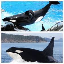 tilikum vs wild orcas seeing the 8 000 pound orcas is every kids
