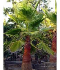 mexican fan palm growth rate palms washingtonia robusta urban tree farm nursery