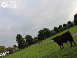 cambridge cows cambridgecow twitter