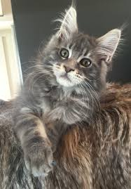 pin diane whitt maine coon cats maine coon