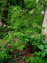 maryland native plants dwarf fothergilla carolyn u0027s shade gardens