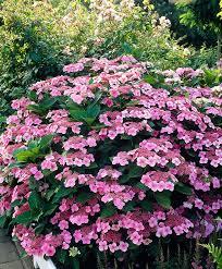 buy ornamental shrubs now hydrangea mariesii perfecta bakker