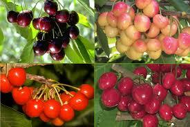 Cherry Tree Fruit - combo cherry tree ison u0027s nursery u0026 vineyard