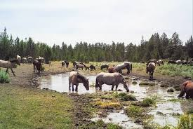 wild horse over population is causing environmental damage green